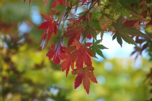 Maple leaves in Kamakura