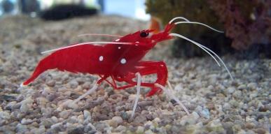 Shrimp in Osaka Aquarium