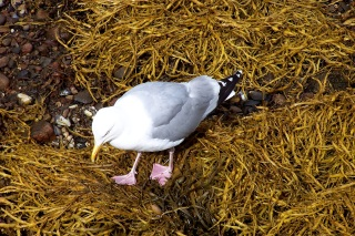Looking for dinner, Oban, Scotland