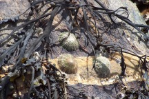 Limpets waiting for high tide, St. Michaels Mount, England