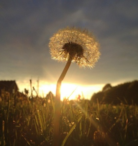 evening dandelion