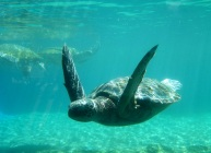 Just like flying...green sea turtle, Oahu, Hawaii