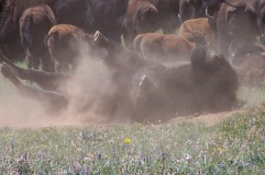 Buffalo wallowing in a dust bowl, near the Grand Canyon.