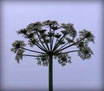 Cow parsley, Cropredy, England