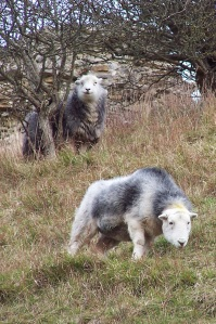 Herdwick sheep grazing around the castle