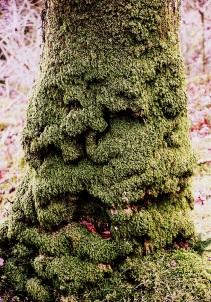 Mossy tree, near Keswick, UK