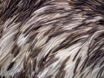 Emu feathers, Cotswolds Wildlife Park, UK