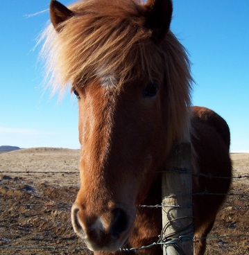 Thick russet hair of an Icelandic horse shimmers in the sunlight, near Reykjavik, Iceland
