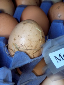 Varied hues of fresh brown eggs, Cropredy, England