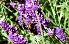 All creatures great and small are soothed by lavender it seems