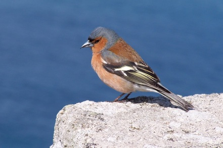 Chaffinch surveying his kingdom