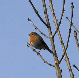 Winter-bare branches mean this little robin can't hide from my camera.