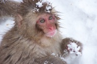 Delicate pink face of a Japanese macaque, Nagano, Japan