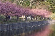 Kawazu zakura, near Mabori kaigan, Japan