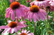 Coneflowers, St. Albans, England